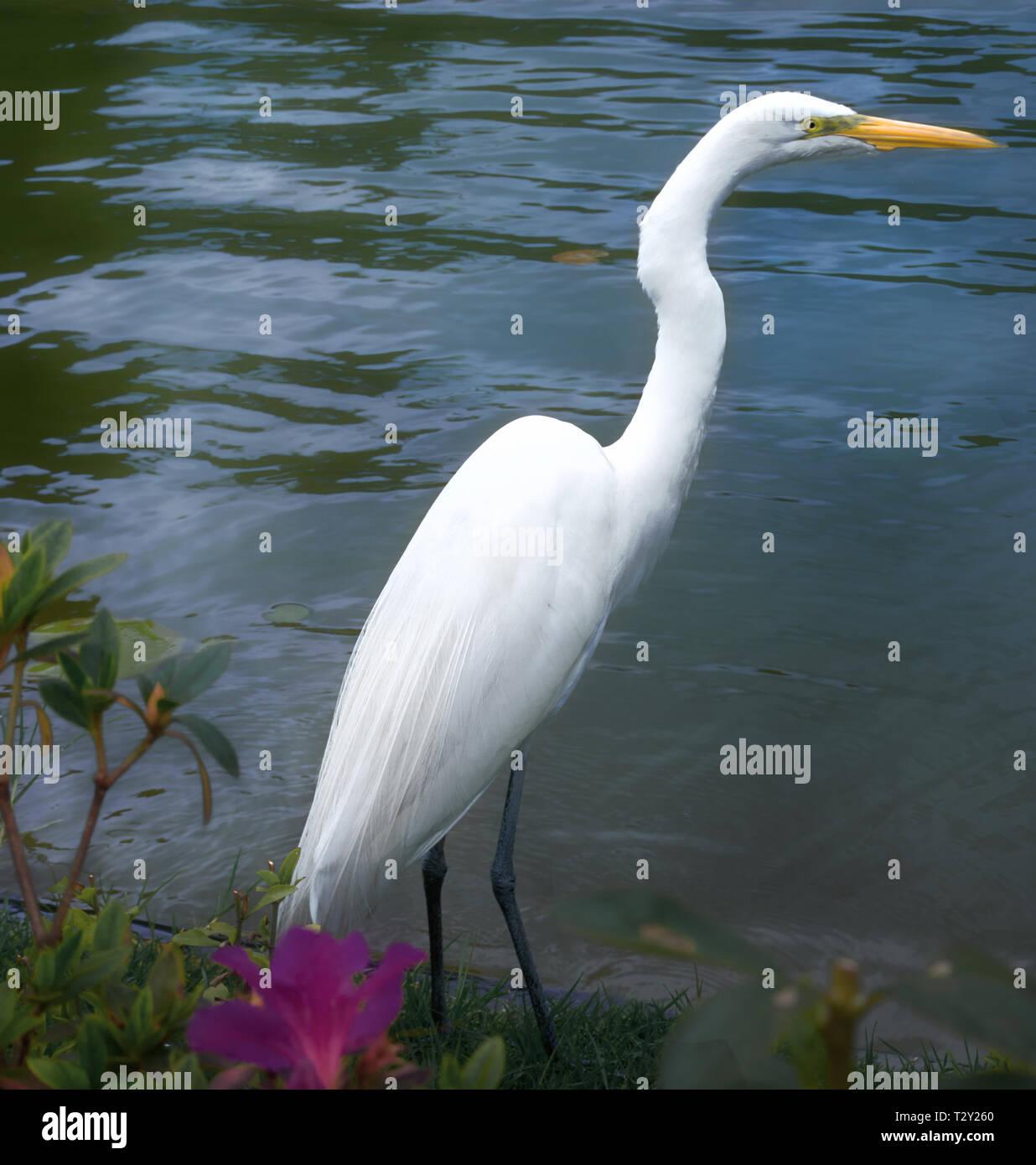 Pesca garza blanca en el borde del lago Imagen De Stock