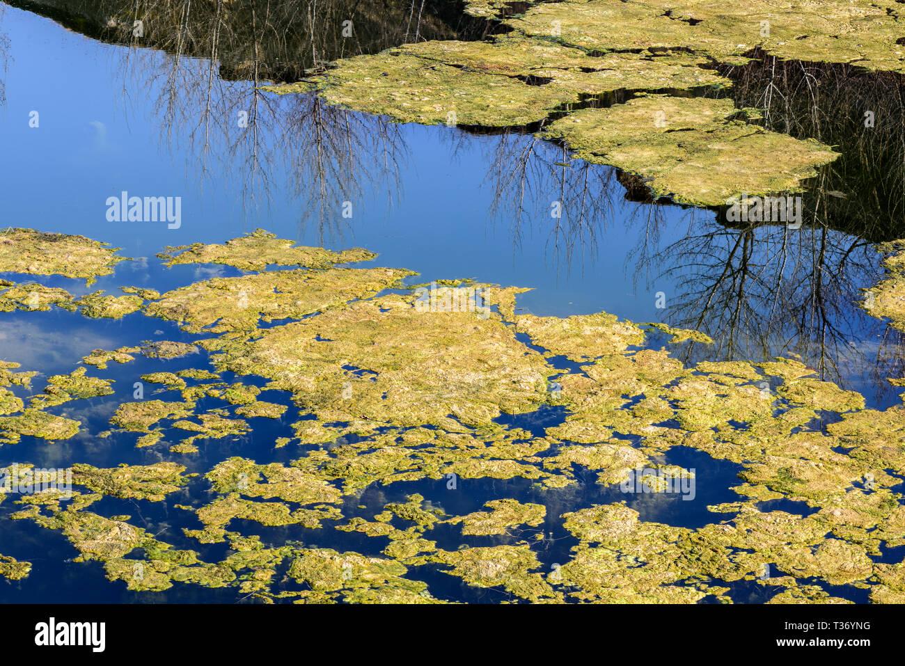 El agua estancada fondo con algas. Clúster de algas verdes. Foto de stock