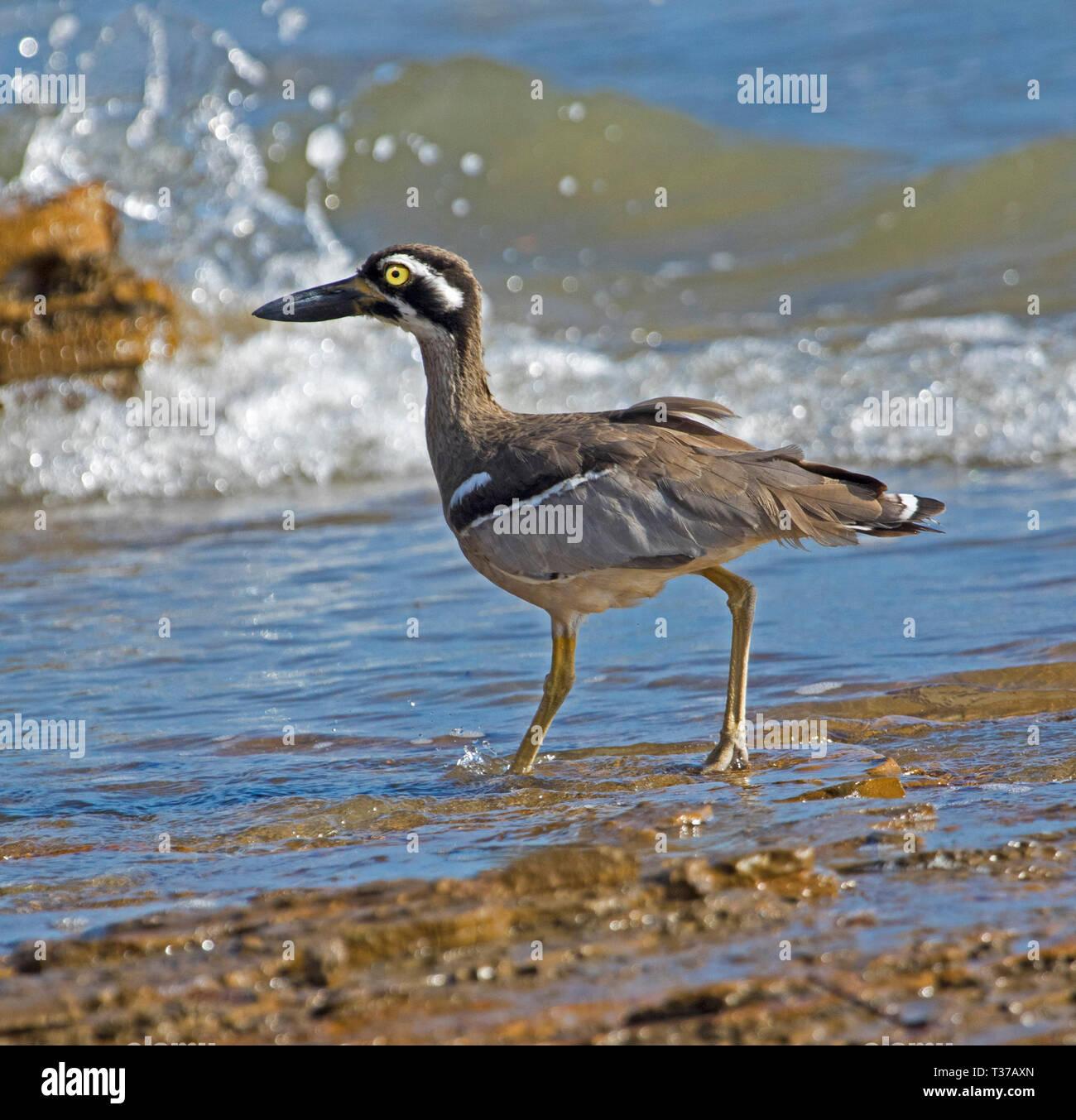 Hermosa y Playa inusual piedra-curlew / grueso-Rodilla, Esacus magnirostris, vadeando en el agua azul con olas salpica a playa en Qld Australia Foto de stock