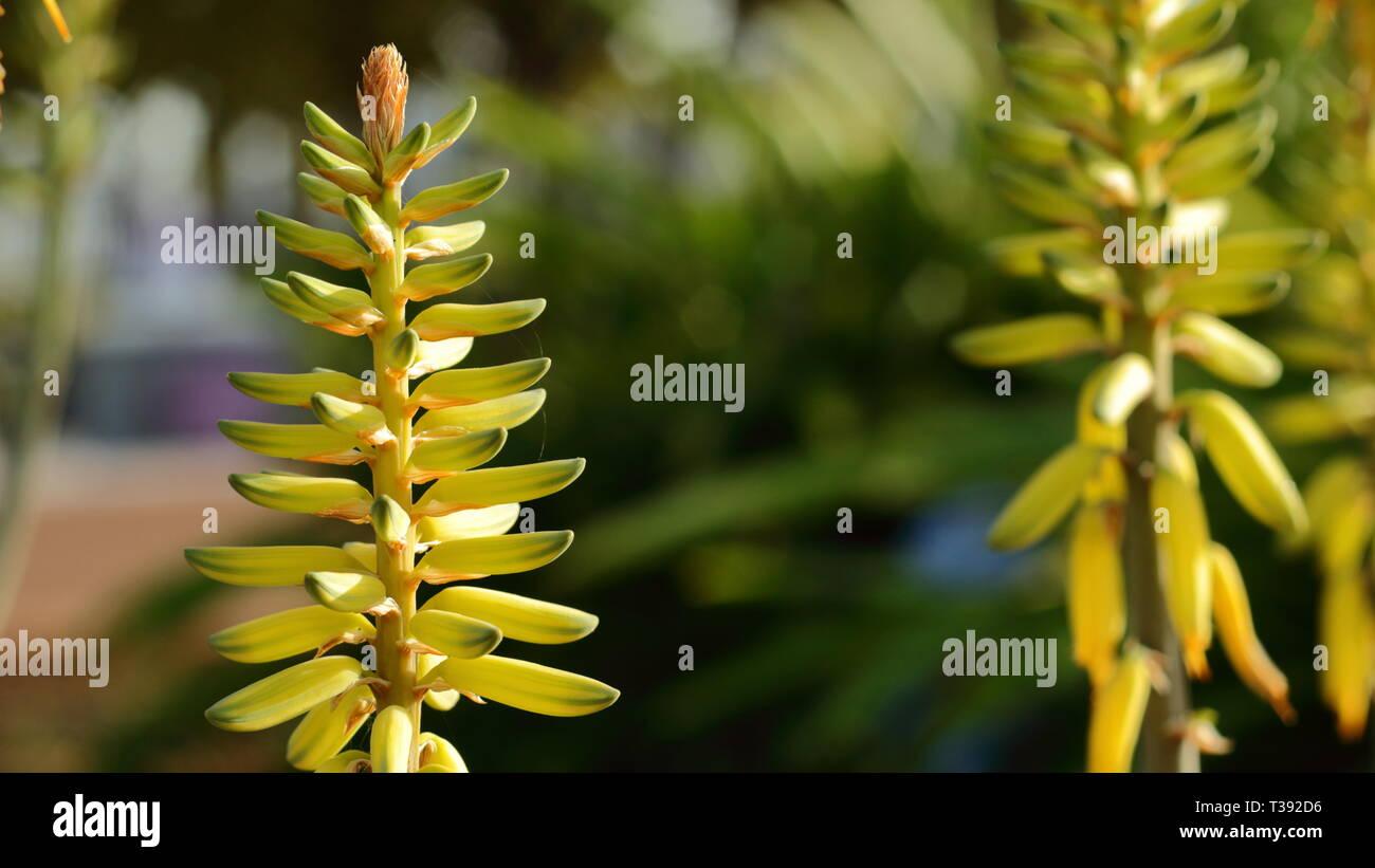 Flores amarillas en el cebador plano. Flores amarillas en el primer plano. Foto de stock