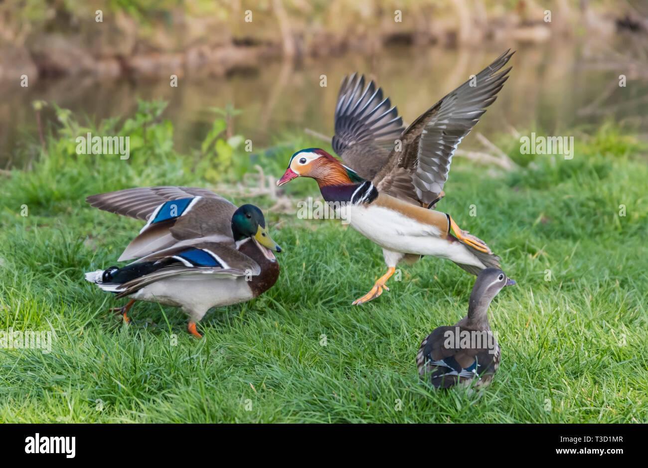 La confrontación entre la vida silvestre un pato real y un Pato mandarín en primavera en West Sussex, Reino Unido. Imagen De Stock