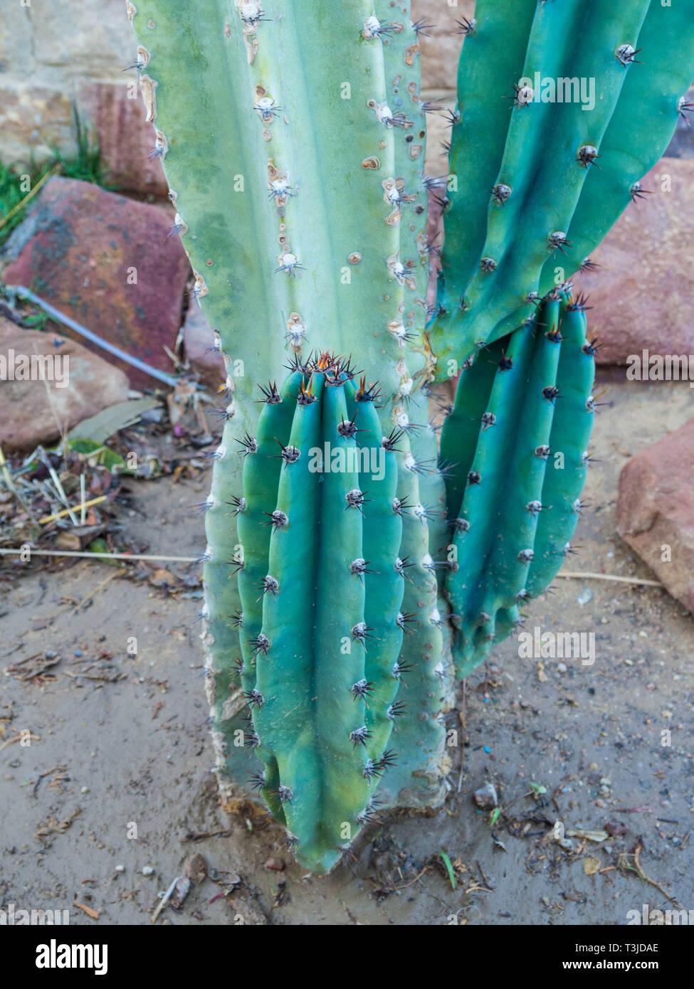 Verde cactus Cereus nopales, cactus, triángulo Organo-alado de pitaya Imagen De Stock