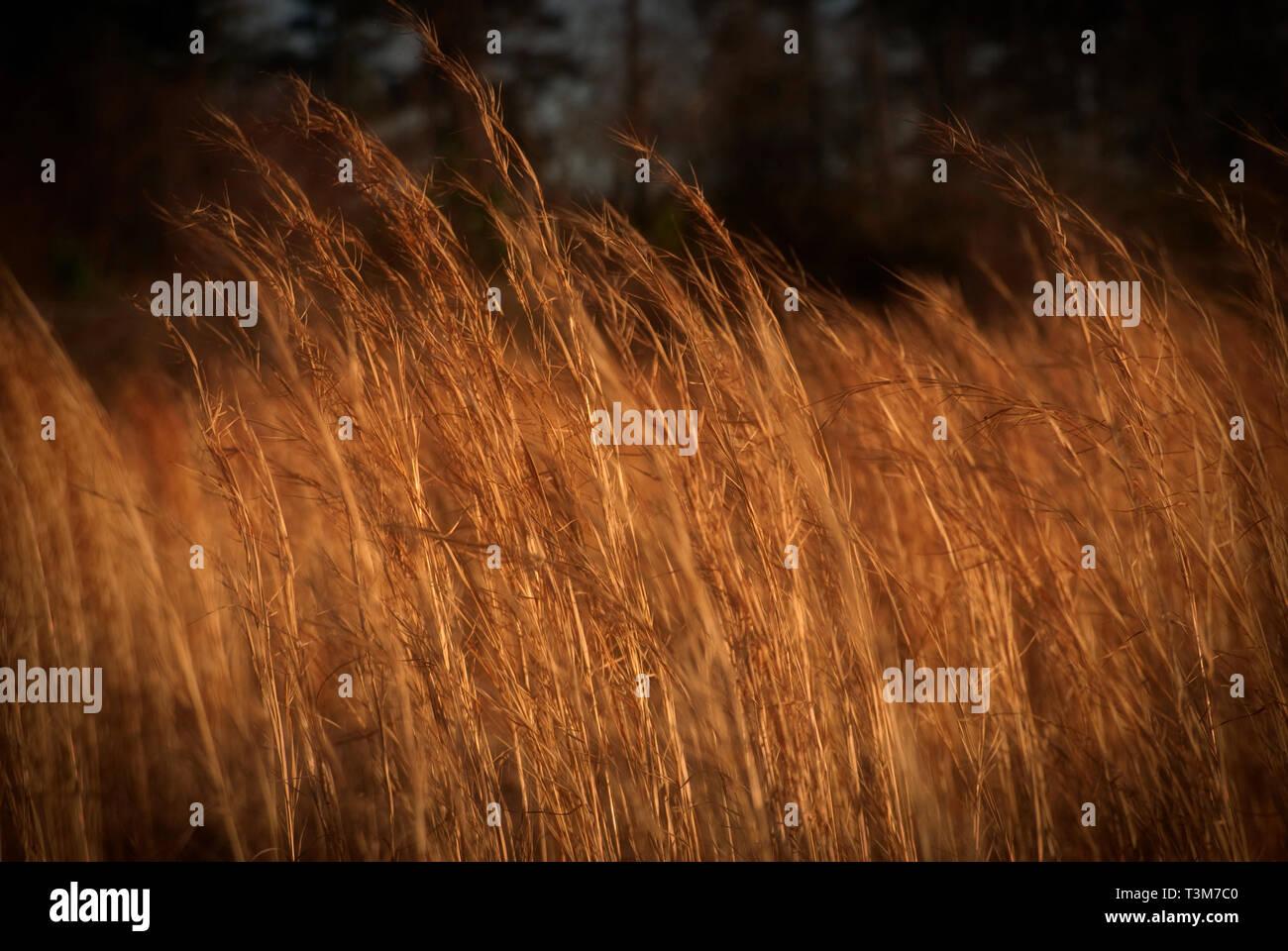 Broom juncia Bluestem hierba crece en Tuscaloosa, Alabama, el 20 de febrero, 2009. Foto de stock