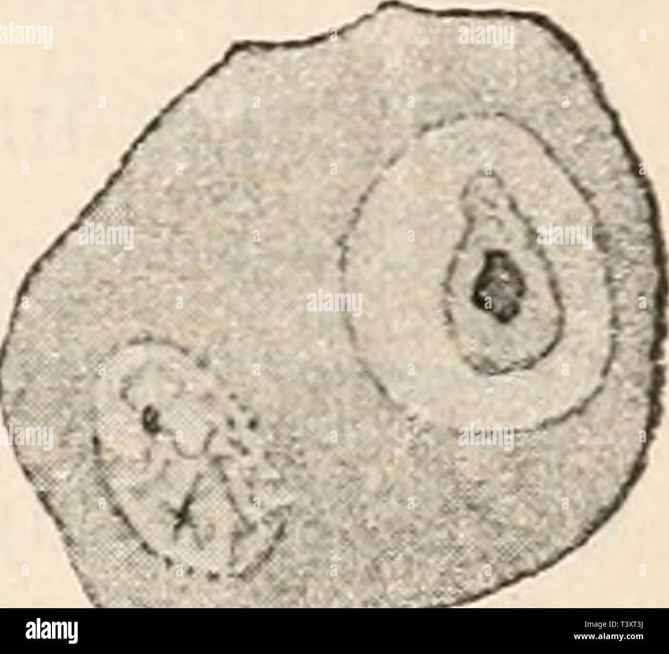 Imagen de archivo de la página 159 de Die Protozoen als Krankheitserreger des Foto de stock