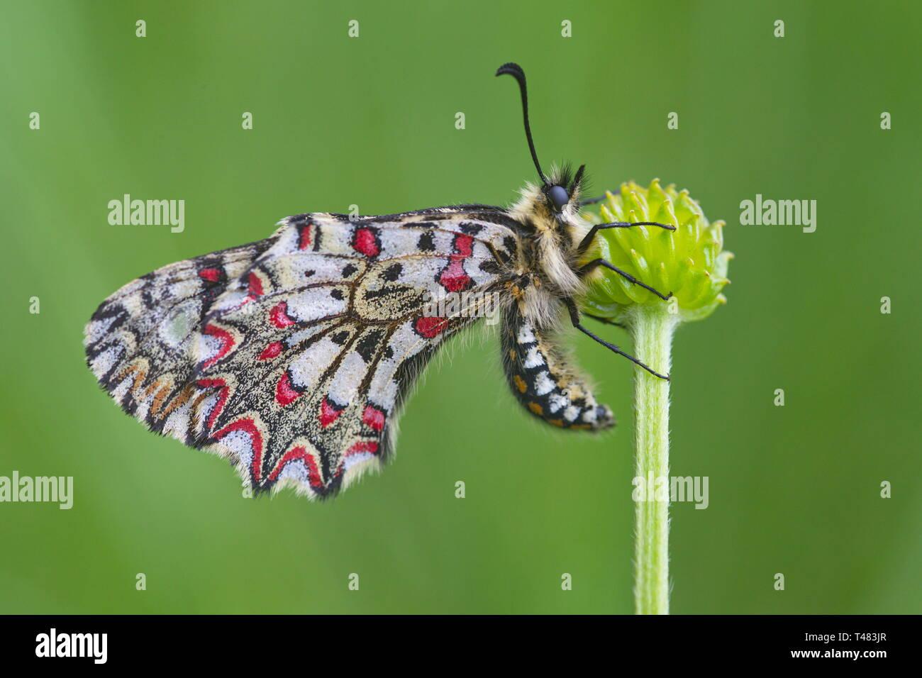 Zerynthia rumina, la decoración española, es una mariposa perteneciente a la familia Papilionidae. Es una especie ampliamente distribuida en España y frecuenta la mayoría hab Foto de stock