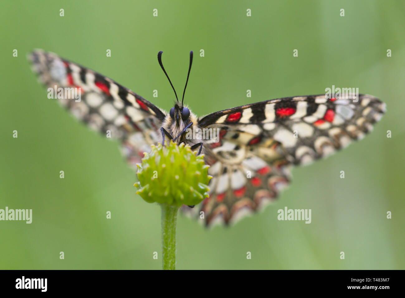 Zerynthia rumina, la decoración española, es una mariposa perteneciente a la familia Papilionidae. Es una especie ampliamente distribuida en España y frecuenta la mayoría hab Imagen De Stock