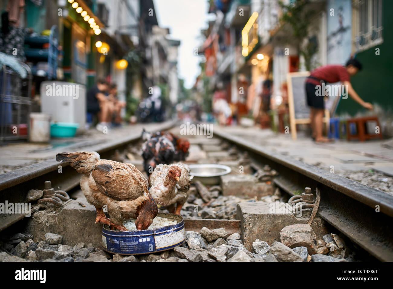 Pollos picoteando alimentos sobre los rieles del tren en la calle de la ciudad de Hanoi. Imagen De Stock