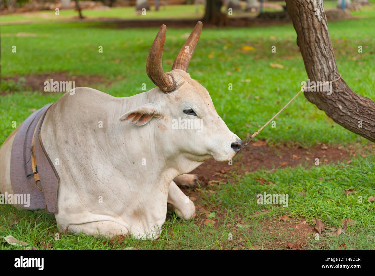 Vaca descansando en el suelo sujetado por anillo de la nariz y la cuerda al árbol en la agricultura de subsistencia en Cuba. Foto de stock