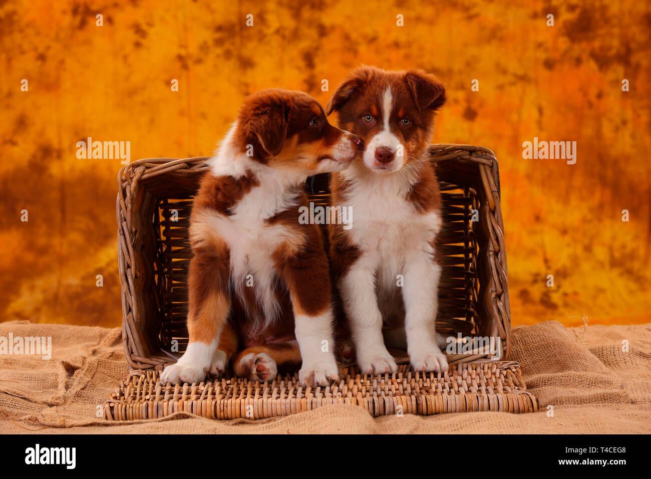 Pastor Australiano, Puppy, 8 semanas, rojo tri Foto de stock