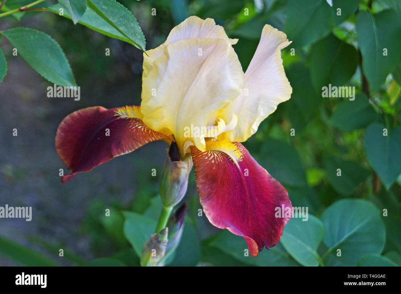 Iris con flor de color morado, blanco y pétalos amarillos en un tallo verde en un día de verano Foto de stock
