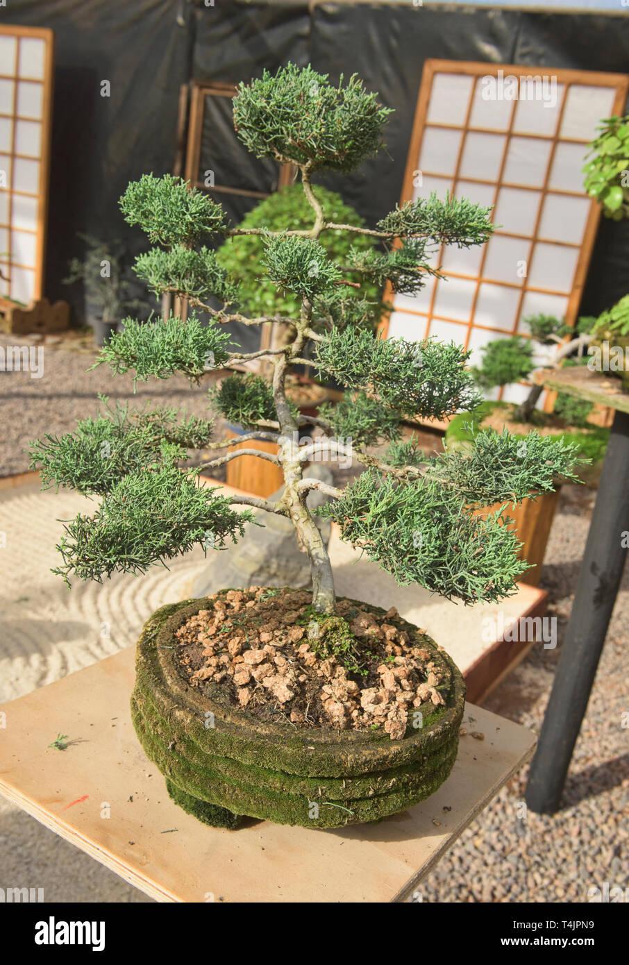 Bonsai en el Jardin de Corazon jardín Japonés, La Serena, Chile Foto de stock