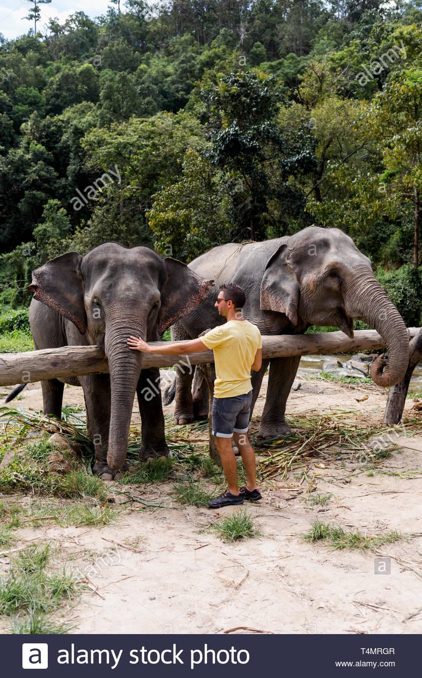 El hombre alimenta los elefantes en un santuario de elefantes. Chiang Mai, Tailandia. Imagen De Stock