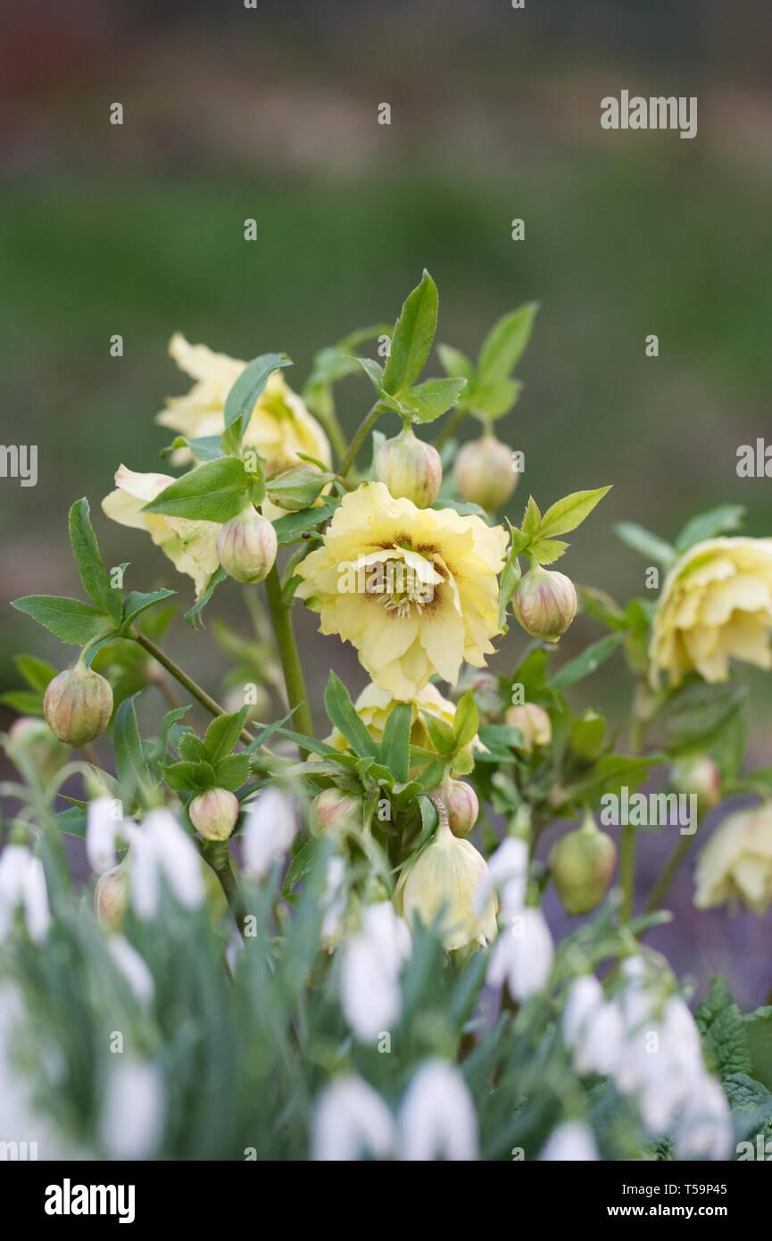 Doble Harvington Helleborus orientalis 'amarillos' y Galanthus nivalis en el jardín. Foto de stock
