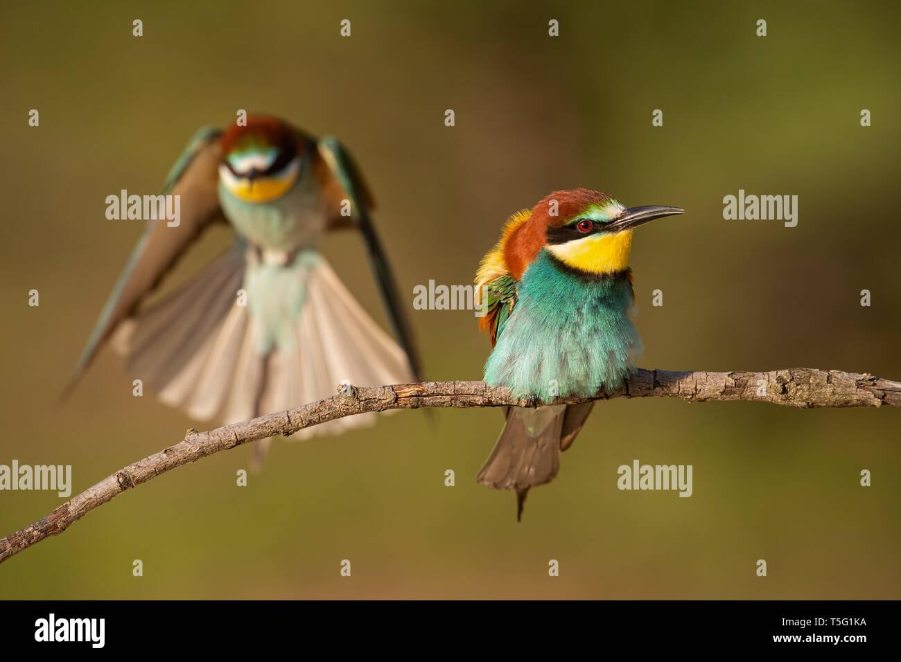 Pareja de abejarucos europeo, Merops apiaster. Foto de stock
