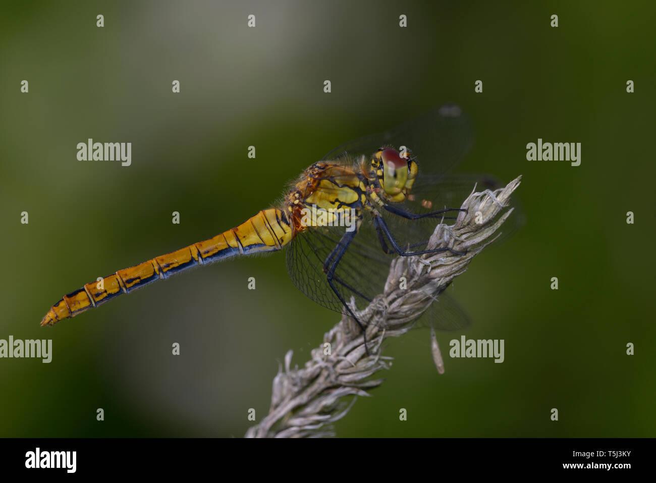 Una libélula Ruddy Darter, sympetrum sanquineum, - sentado en una planta de tallo seco. Foto de stock