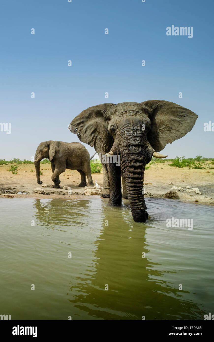 Bush - Elefante Africano Loxodonta africana, iconic miembro del Big Five, safari africano en Etosha, en Namibia. Foto de stock