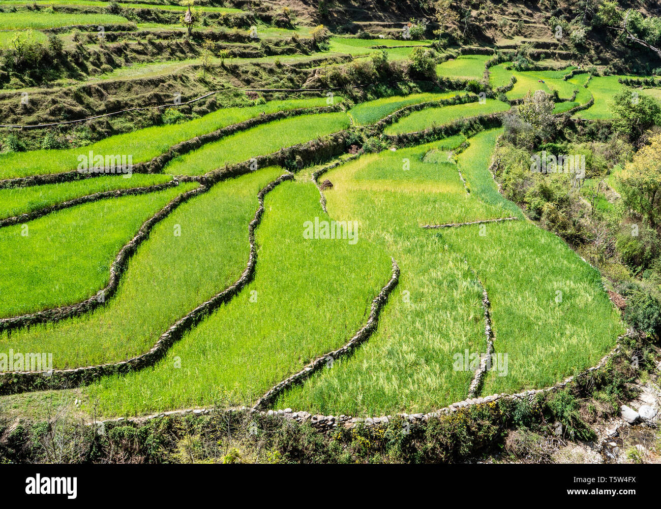 Campos De Terrazas Utilizadas Para Cultivar Arroz Orgánico Y