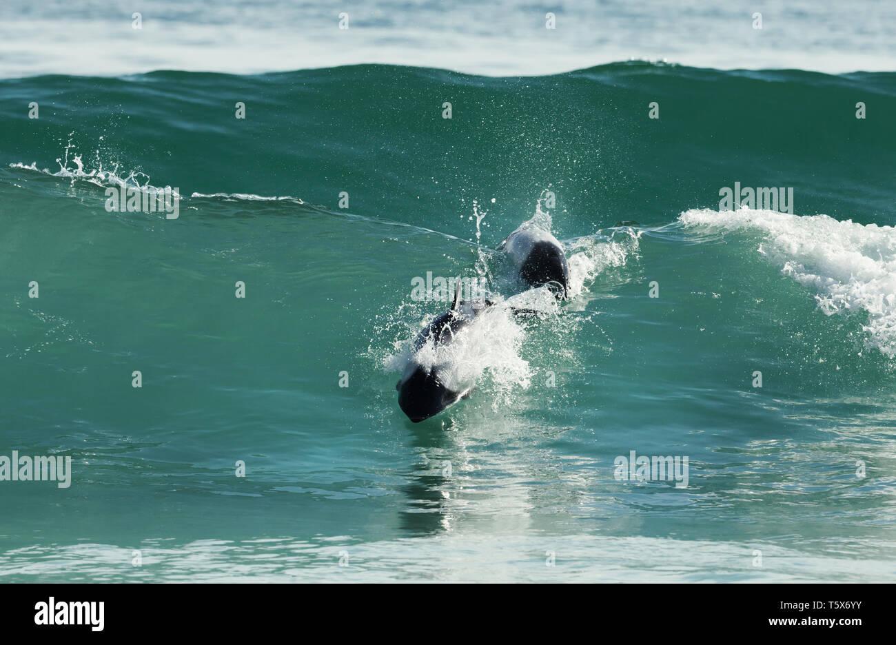 Los delfines de Commerson bucear en aguas azules, Islas Malvinas. Imagen De Stock