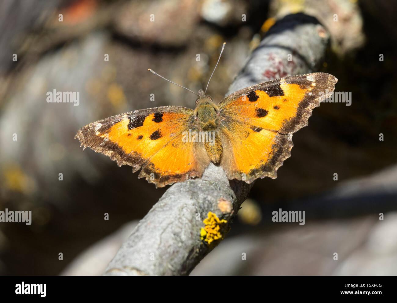 California Tortoiseshell Butterfly Foto de stock