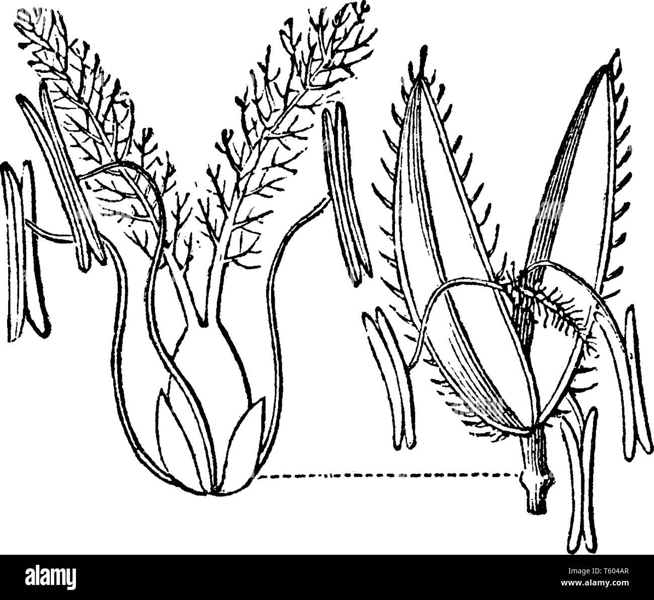 El Arroz Es De 2 3 Cutgrass De Altura Y Las Hojas Son