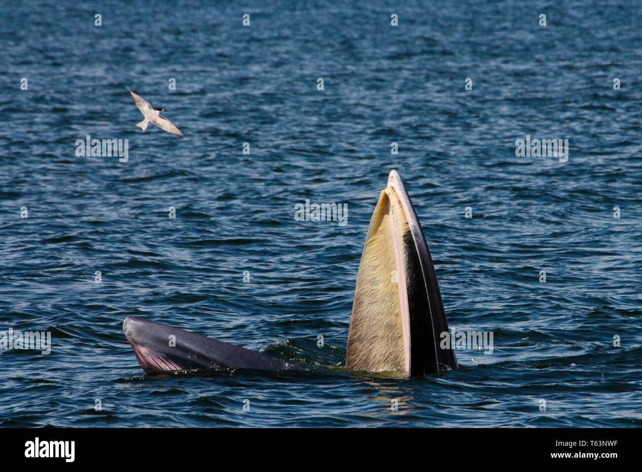 Ballena de bryde alimentándose en el mar. Los miembros de la familia de ballenas con barbas Foto de stock