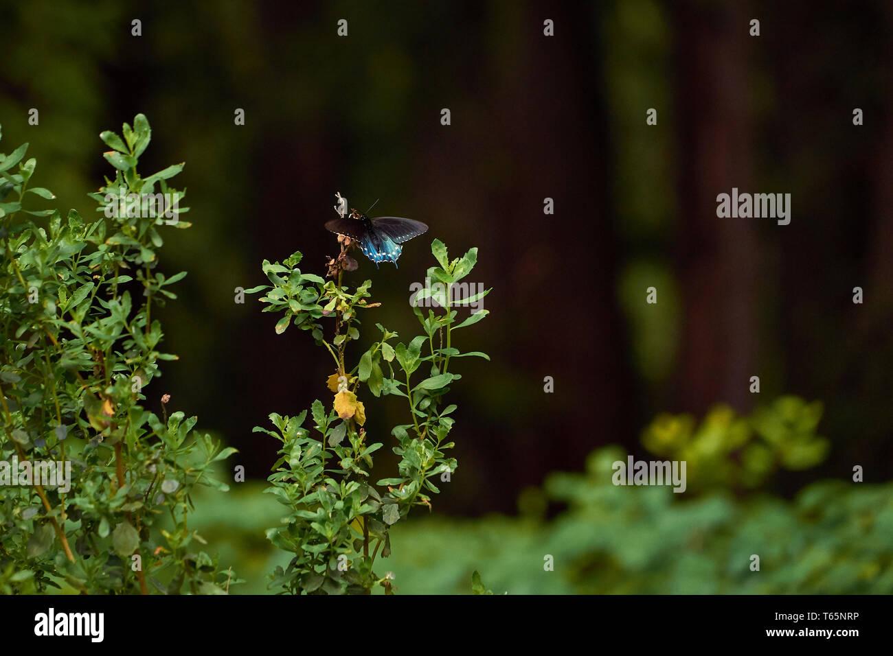 Una especie spicebush mariposa sobre un arbusto verde en el bosque de secoyas en el Jack London State Historic Park, en Glen Ellen de California. Foto de stock