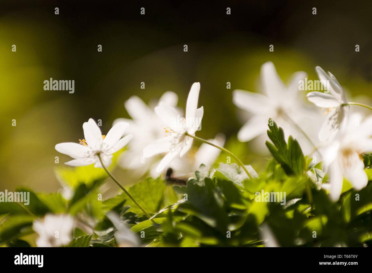 O thimbleweed windflower, Anemone nemorosa, Alemania Foto de stock