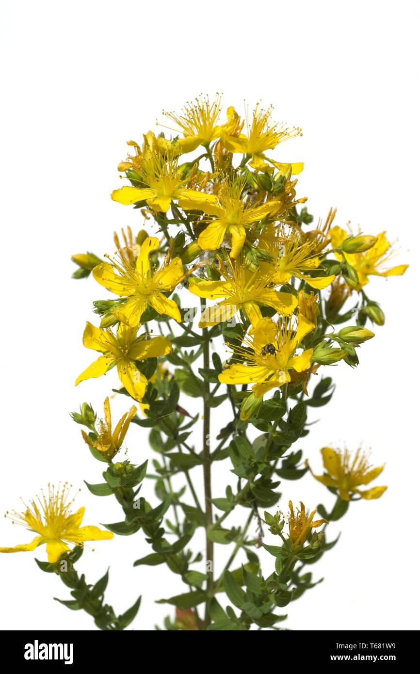 Chase-diablo, Klamath weed, Tipton la maleza, Goat Weed, St John's wort, Hypericum perforatum Foto de stock