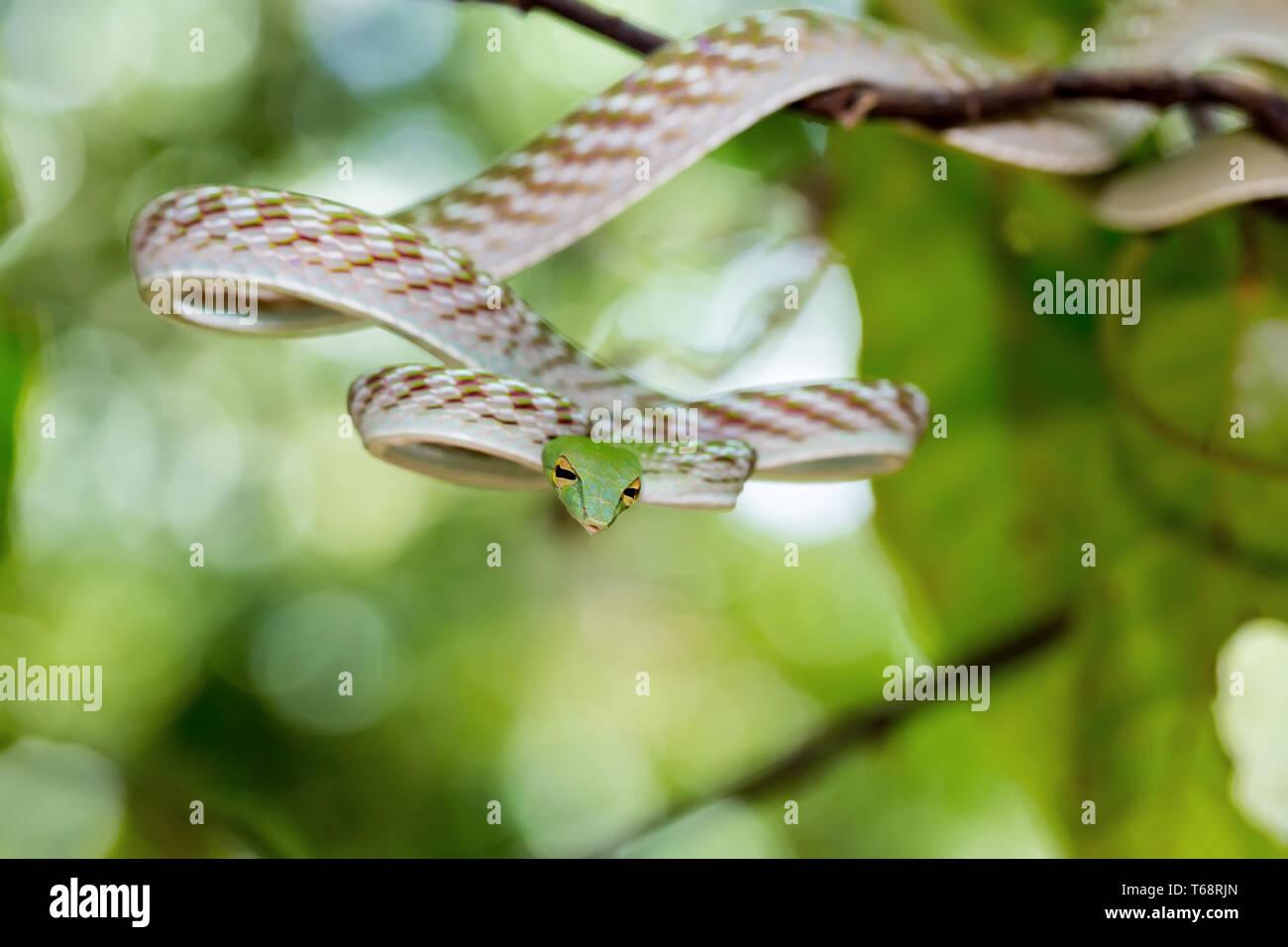 La Serpiente (vid asiáticos Ahaetulla prasina) Foto de stock