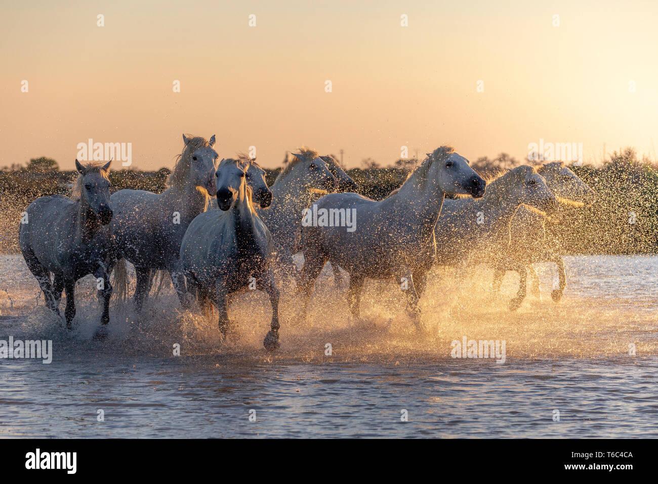 Blanco caballos salvajes de la camarga corriendo sobre el agua, Aigues Mortes, en el sur de Francia Foto de stock