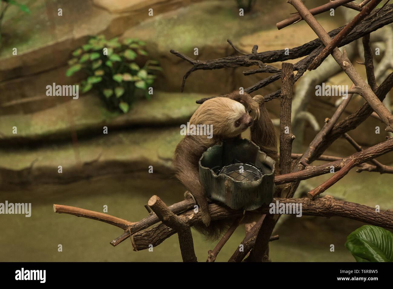 Pereza colgando alrededor de su recinto en el zoológico. Foto de stock