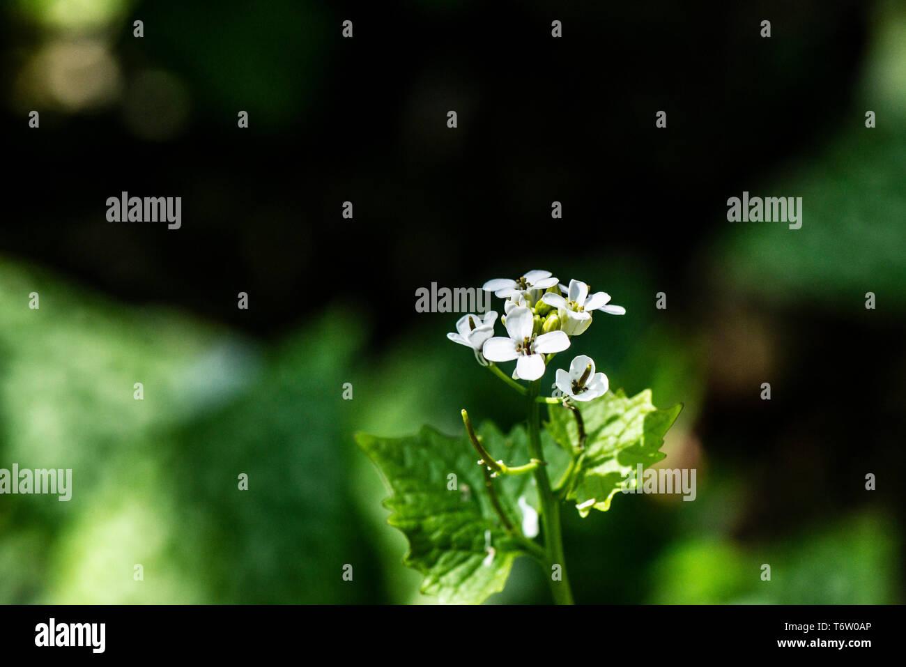 Las flores de un gato-por-la-hedge (Alliaria petiolata) Foto de stock