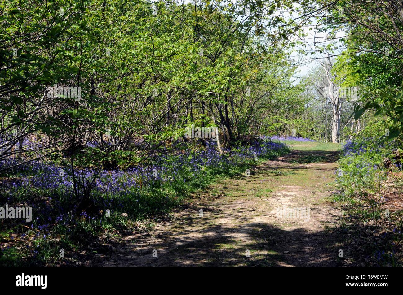 Las campánulas azules floración en primavera en una madera de Sussex. Foto de stock