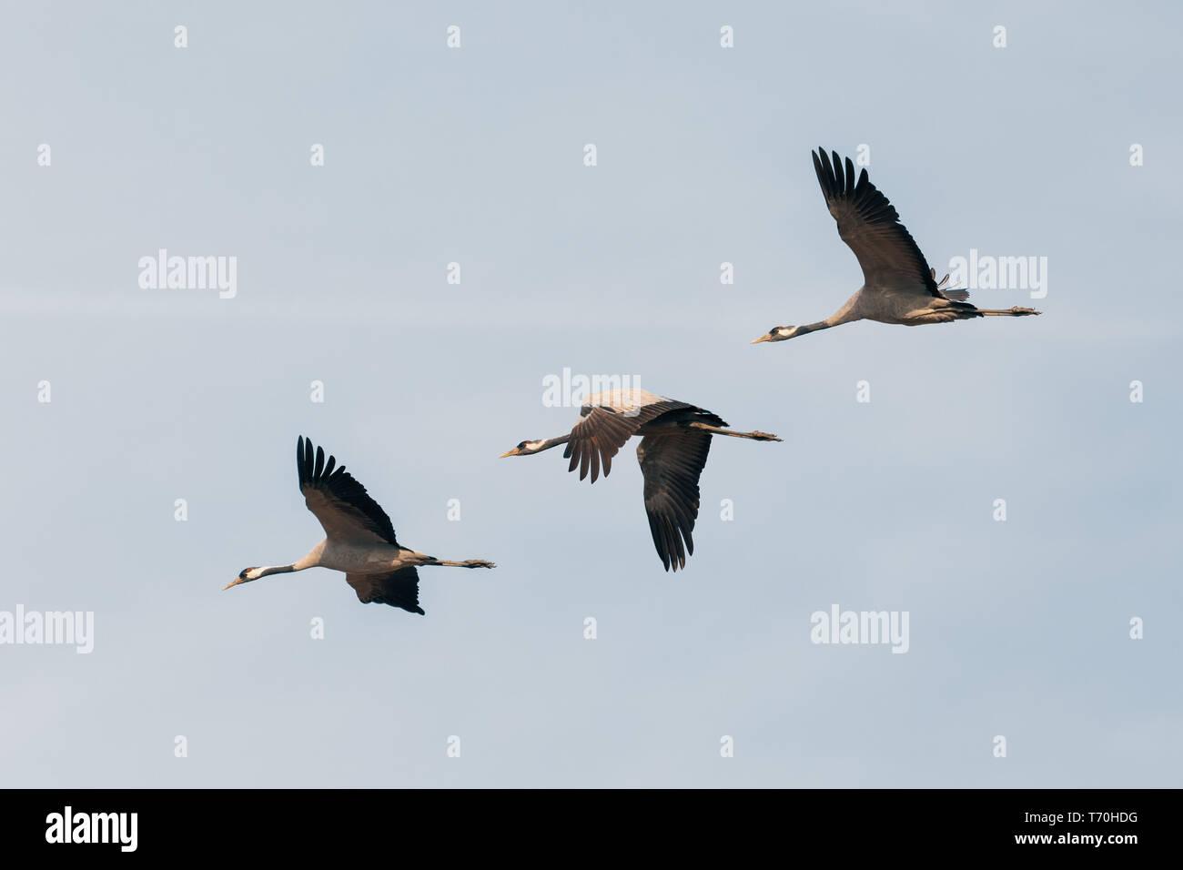Flying grey comunes de grúa de Hortobagy, Hungría Foto de stock