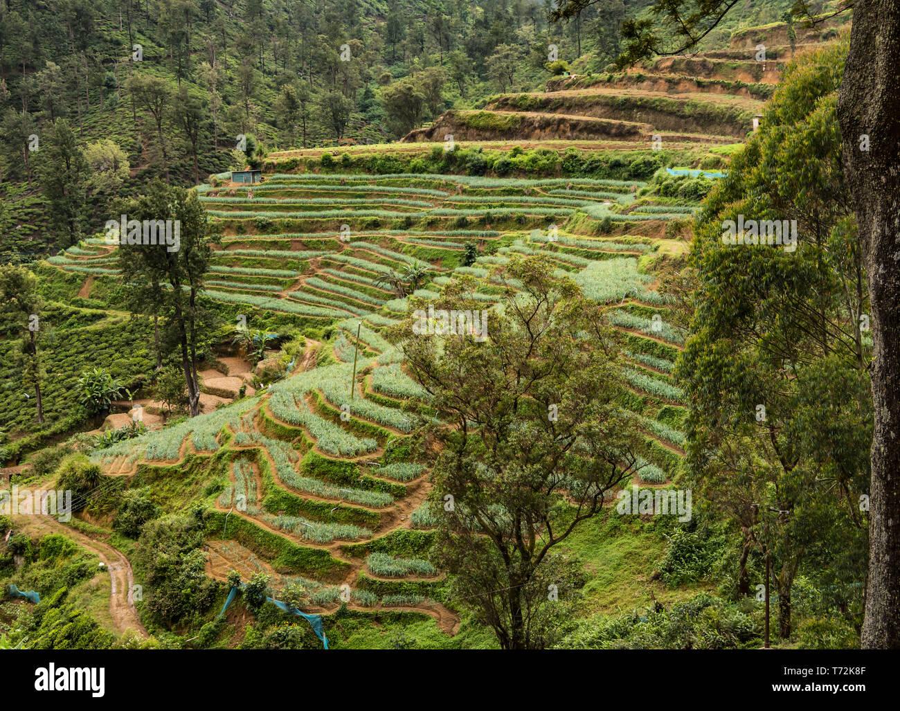 Sri Lanka La Agricultura En Terrazas Foto Imagen De