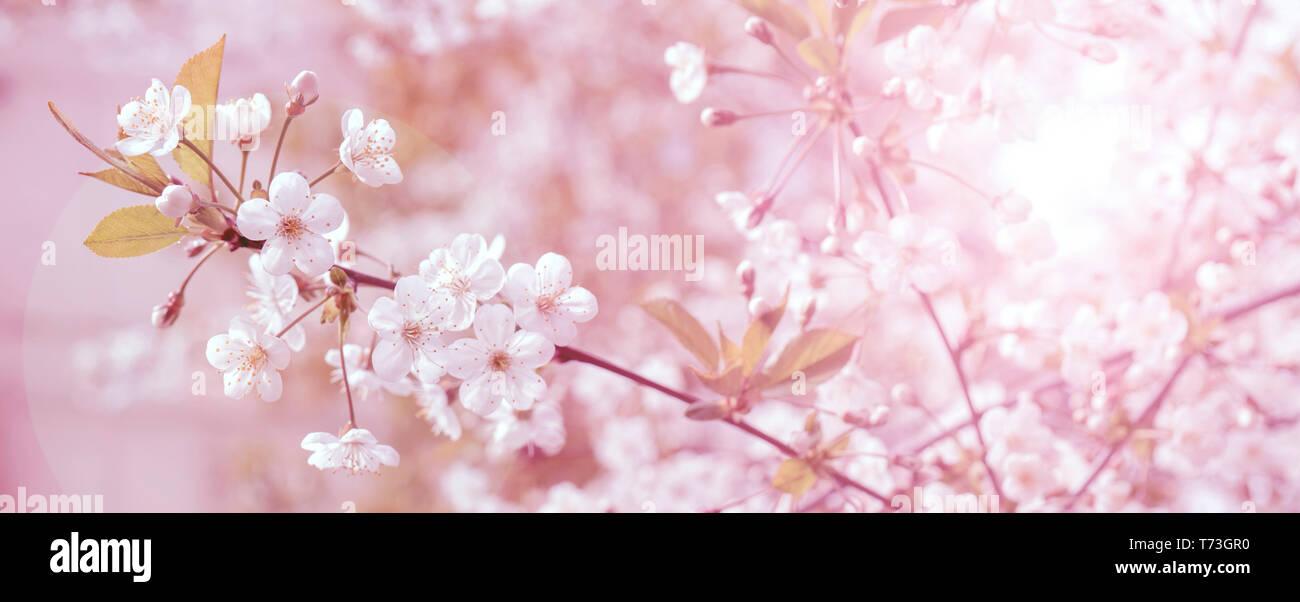Cerezos Florecientes De Primavera Fondo Para La Tarjeta De