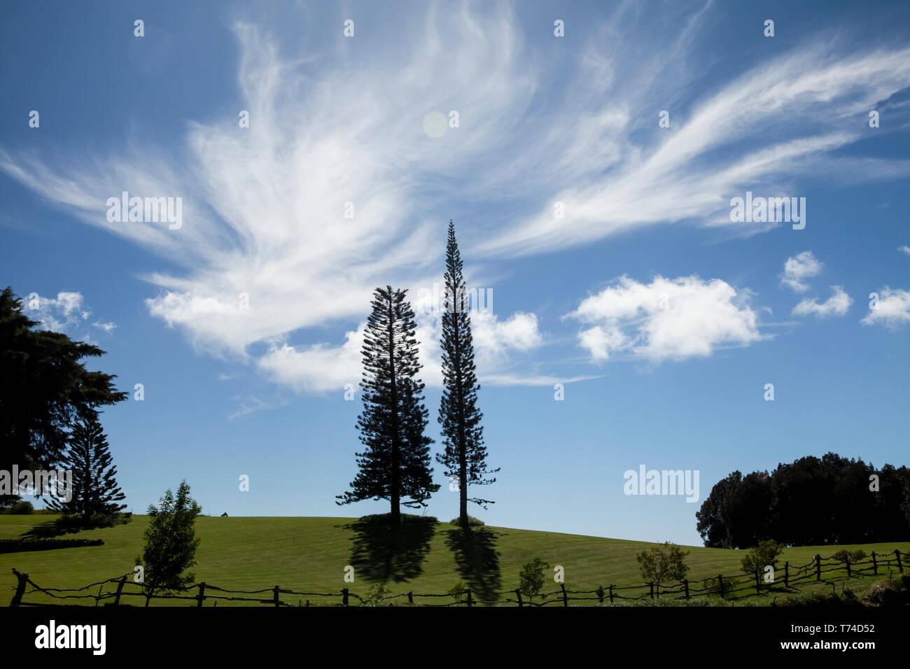 La Isla Norfolk, pinos, Kohala Mountain; Isla de Hawaii, Hawaii, Estados Unidos de América Foto de stock