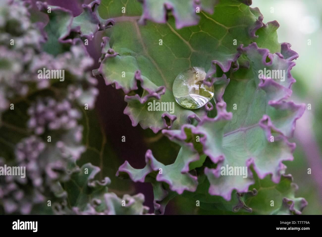 Alta tensión superficial sobre una hoja de col rizada beads agua, alias: el efecto loto Imagen De Stock