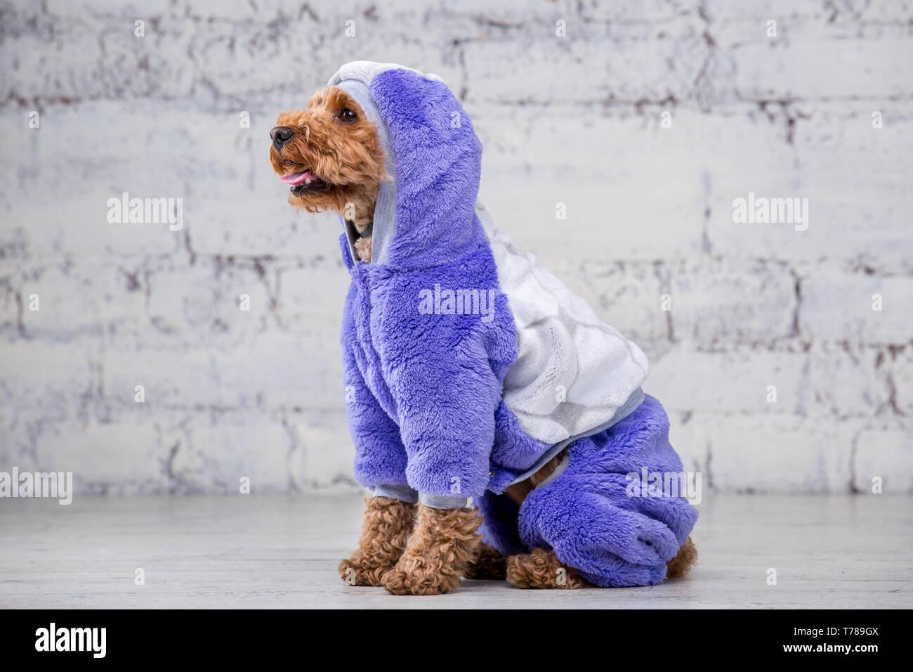 1b92ff6df81b Pequeño perro gracioso de color marrón con el pelo rizado de raza poodle de  juguete posando