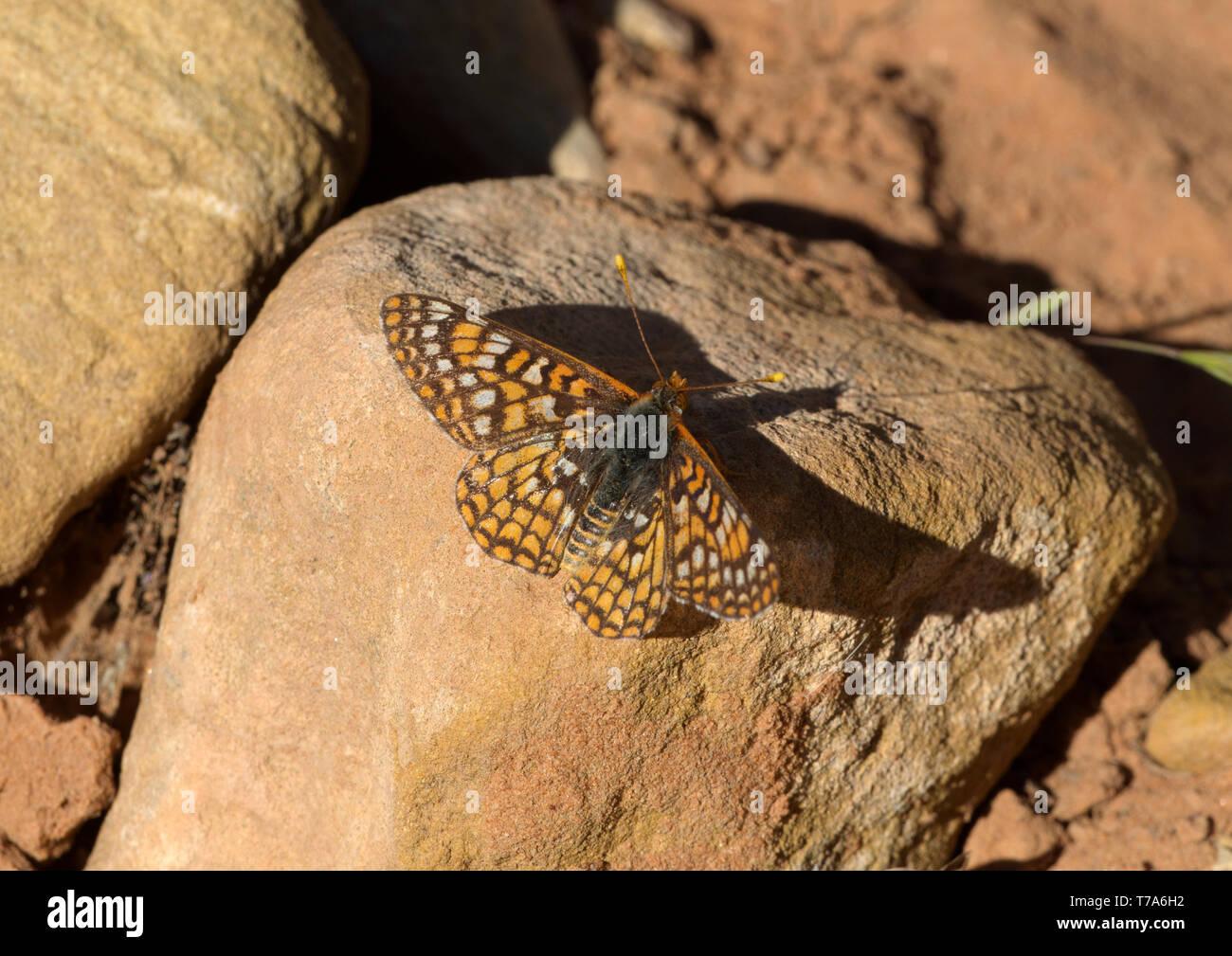 Anicia Checkerspot Butterfly Foto de stock