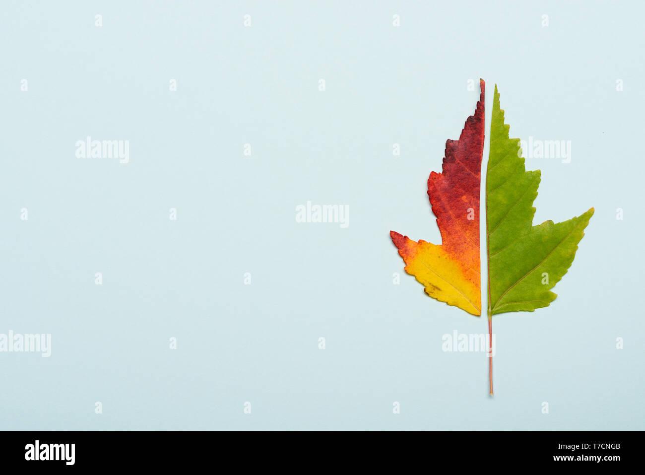 Rojo y verde hoja cortada en la mitad de colores de otoño sobre fondo de papel azul pastel Foto de stock