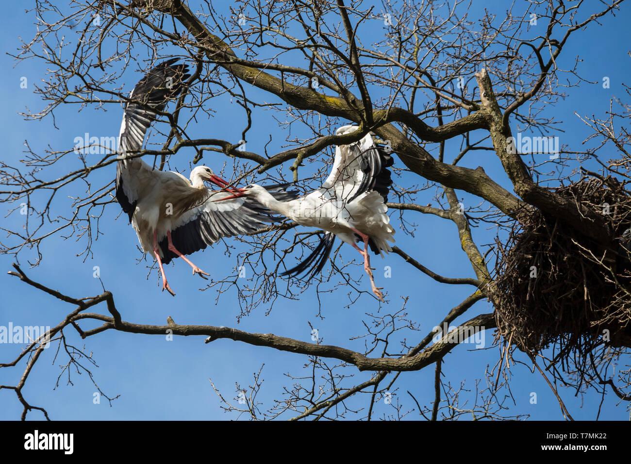 Cigüeña blanca (Ciconia ciconia). Dos aves luchando por un nido en un árbol. Alemania Foto de stock