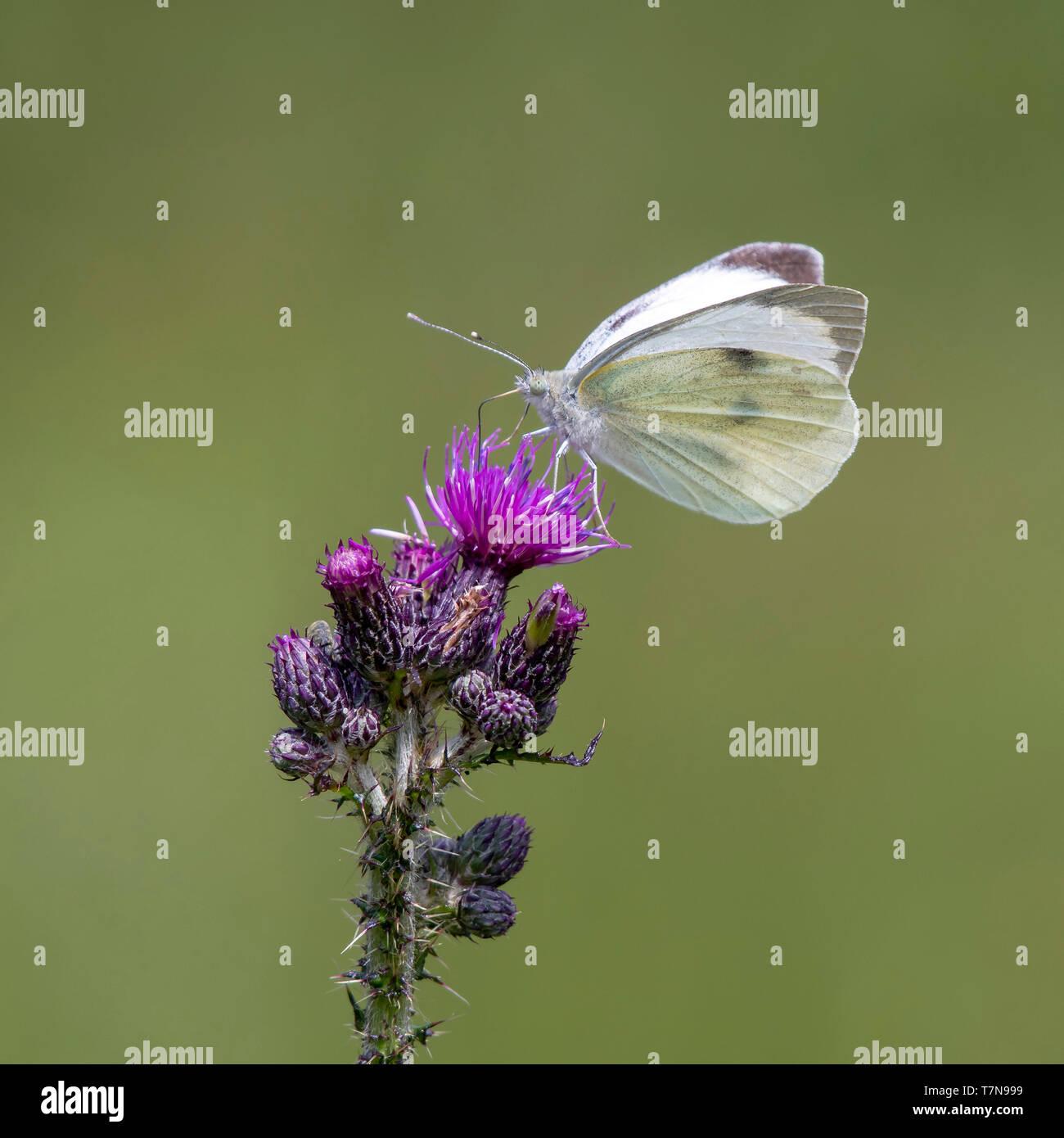 (Pieris rapae blanco grande), chupar néctar de cardo. Austria Foto de stock