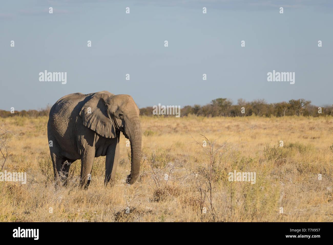 Los elefantes en el Parque Nacional de Etosha, Namibia Foto de stock