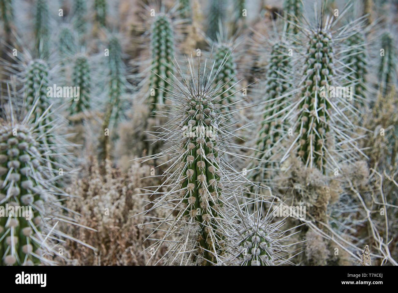 Cactus arborescentes (Eulychnia acida) creciendo en Isla Damas, Reserva Pingüino de Humboldt, Punta Choros, Chile Foto de stock