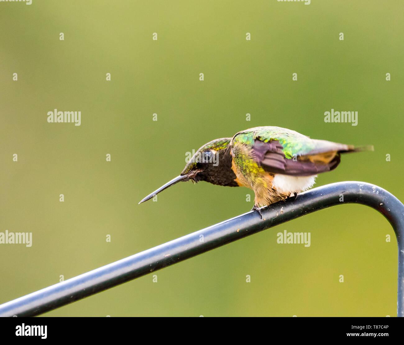 Ruby-Throated macho Colibrí en amenazante para espantar a otro colibrí. Imagen De Stock