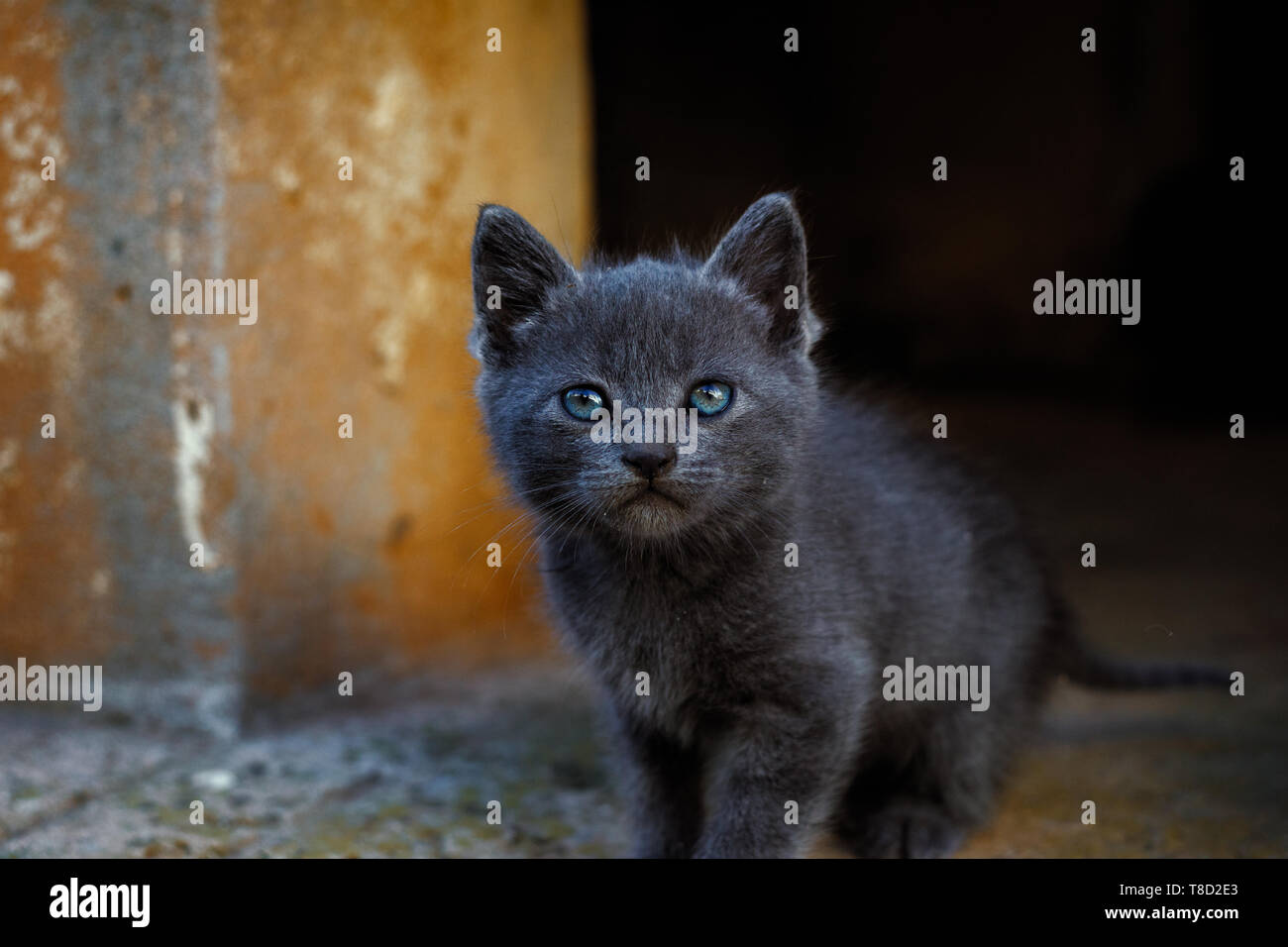 Gatito gris con ojos azules (blue bestia). Imagen De Stock