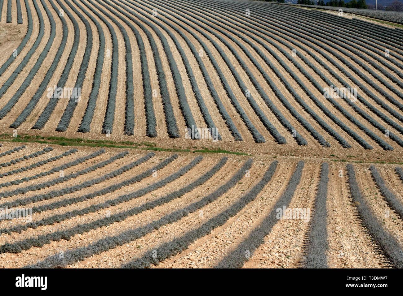 Resumen Los patrones de campo de los campos de lavanda en invierno cerca de Moustiers-Sainte-Marie Provence Francia Imagen De Stock