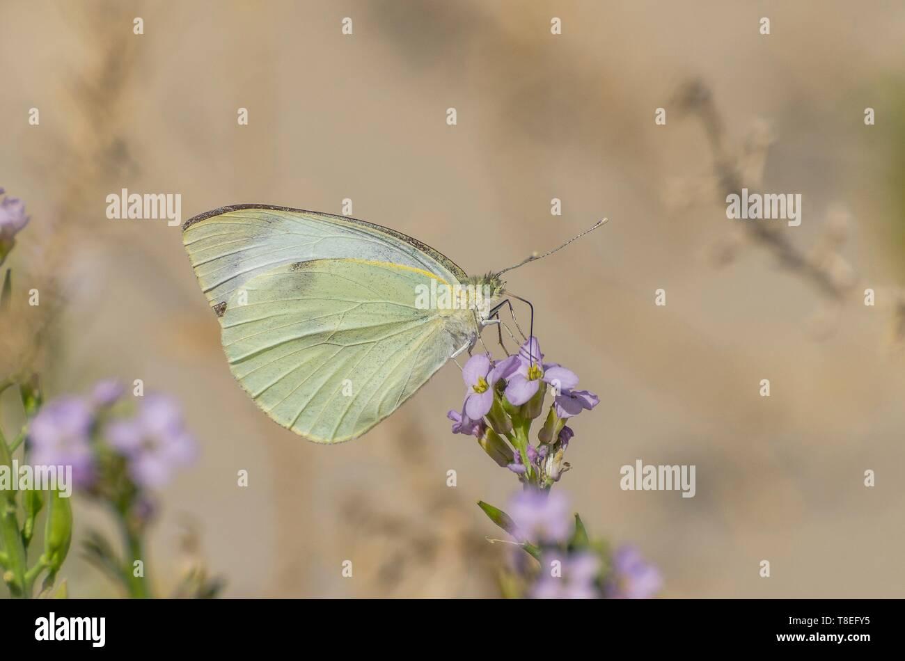 Pretty butterfly succionar el néctar de una flor Foto de stock