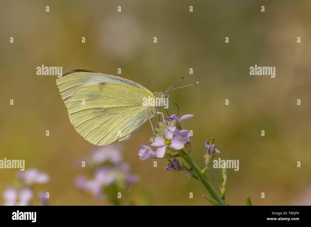 Mariposa Pieris rapae succionar el néctar de la flor Foto de stock